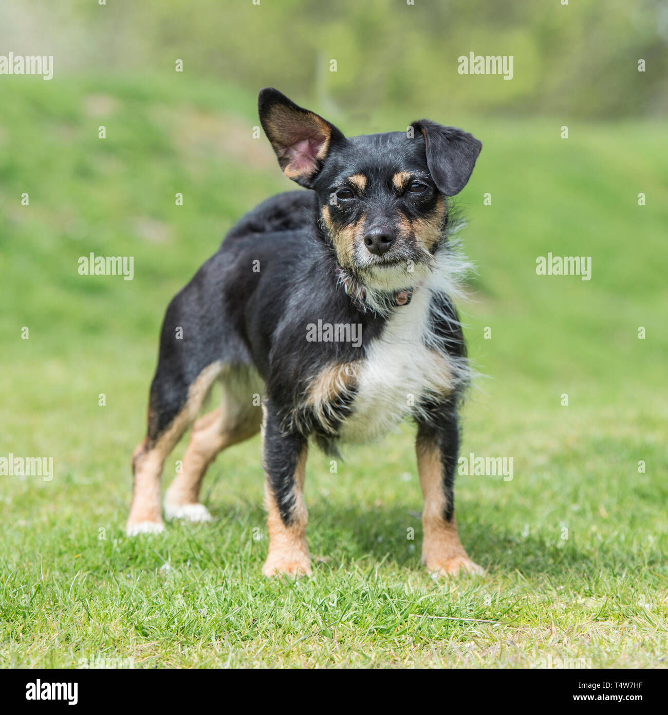 jack russell terrier tri colour - Stock Image