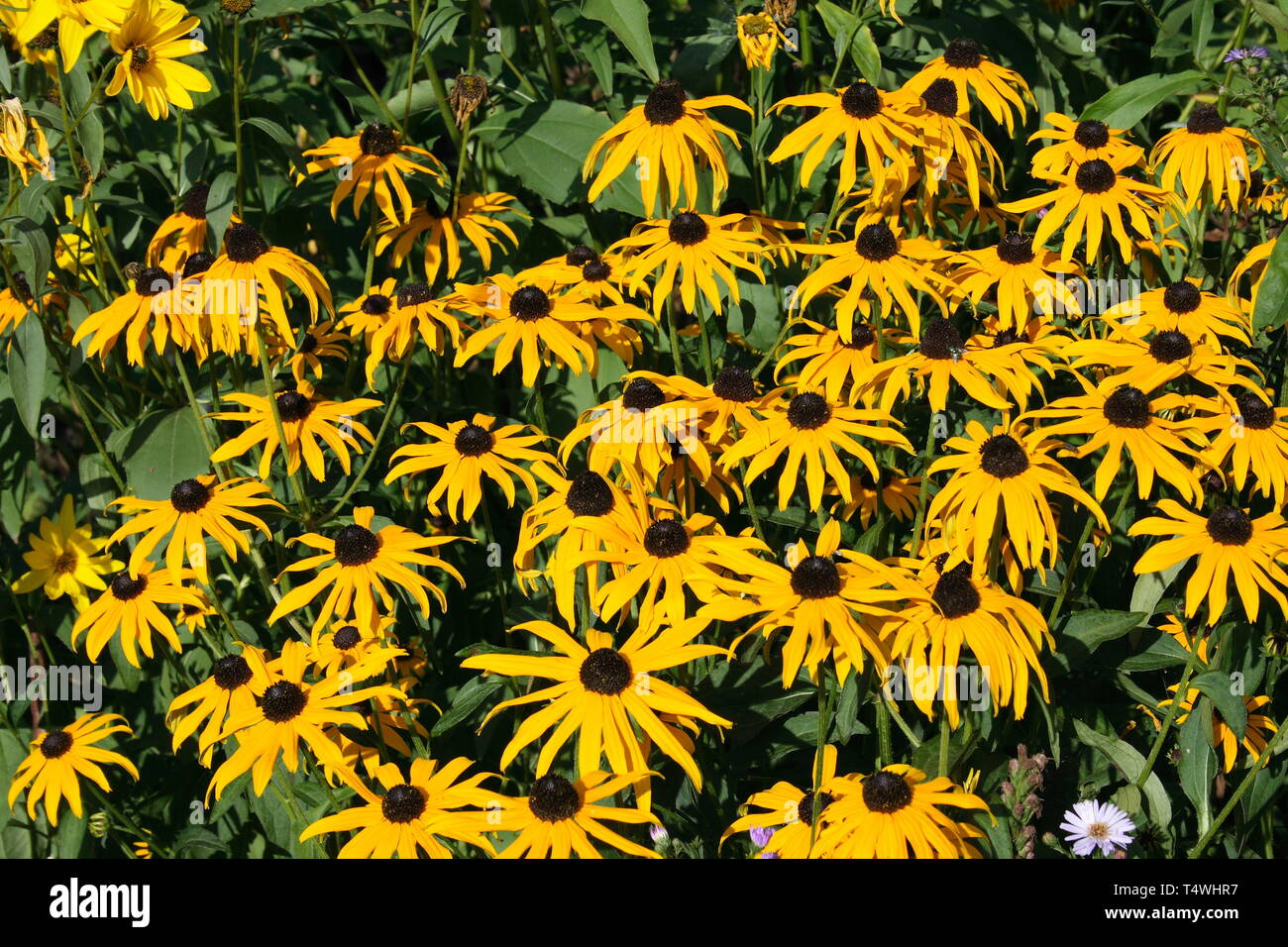 close up of a yellow flower blooming cone-flower (echinacea) - Stock Image