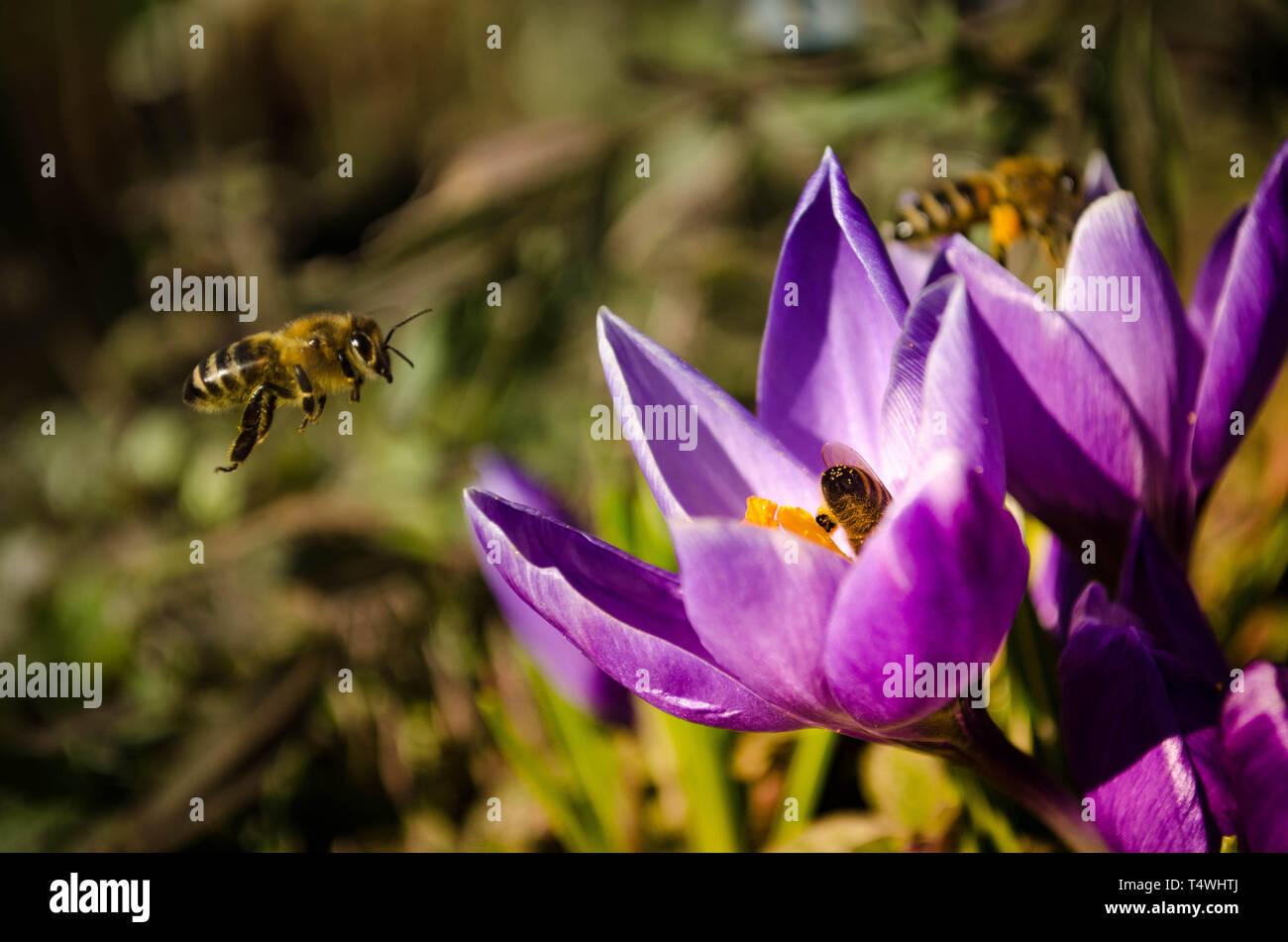 Bienen - Stock Image
