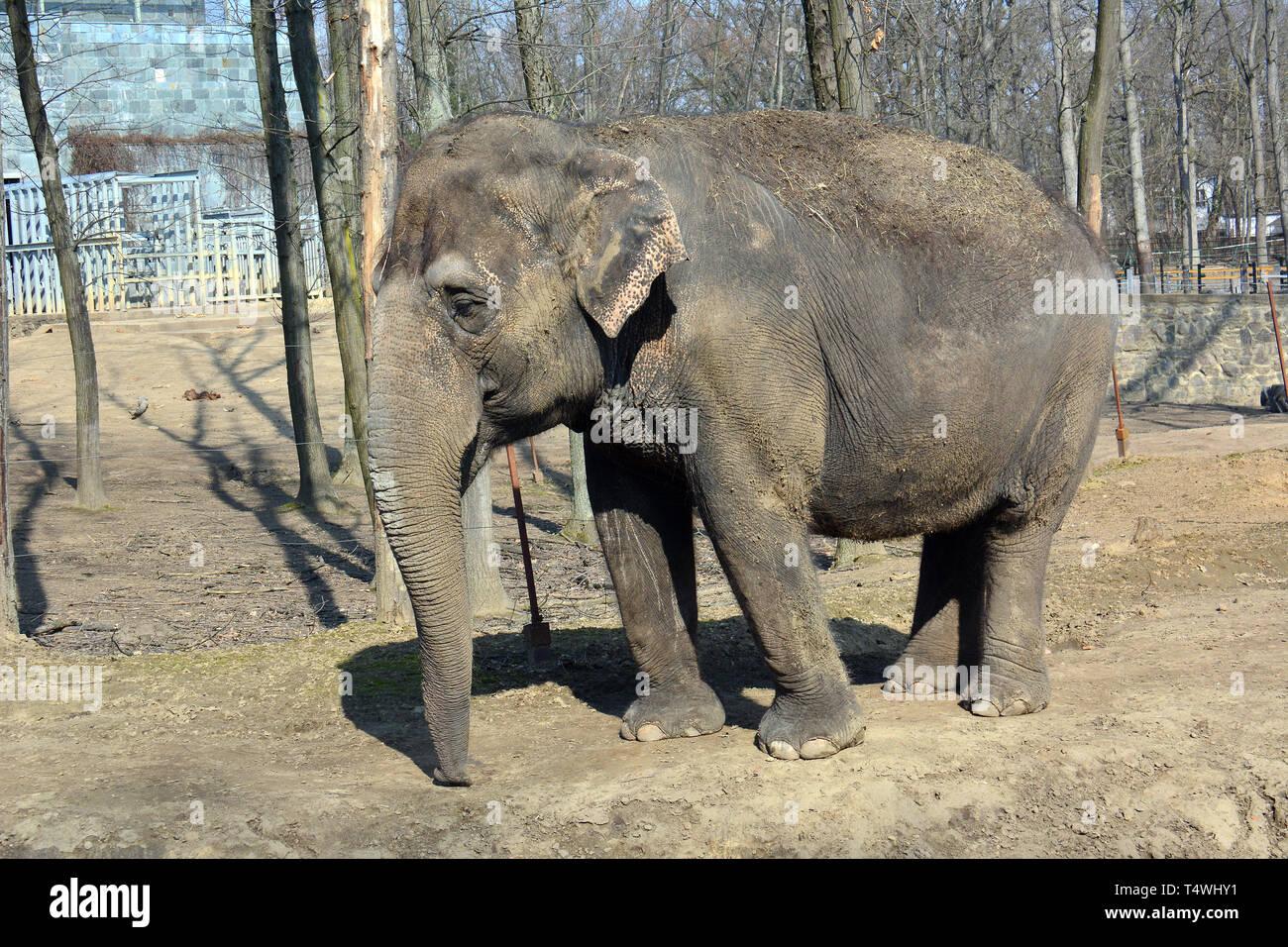 Asian elephant, Asiatische Elefant, Elephas maximus, ázsiai elefánt - Stock Image