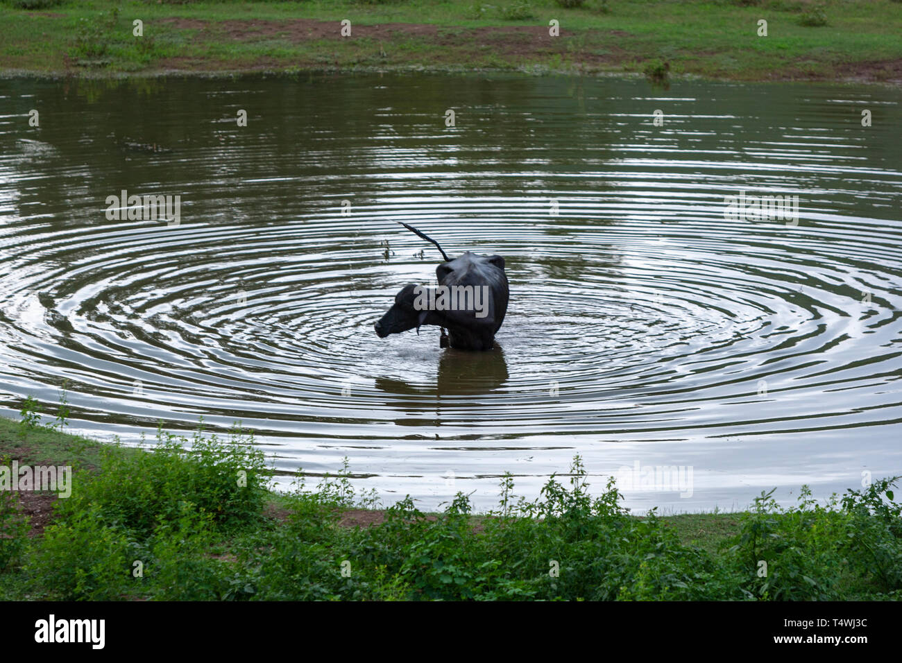buffalo in a pool, doing concentric waves, Bundi, Rajasthan, India - Stock Image