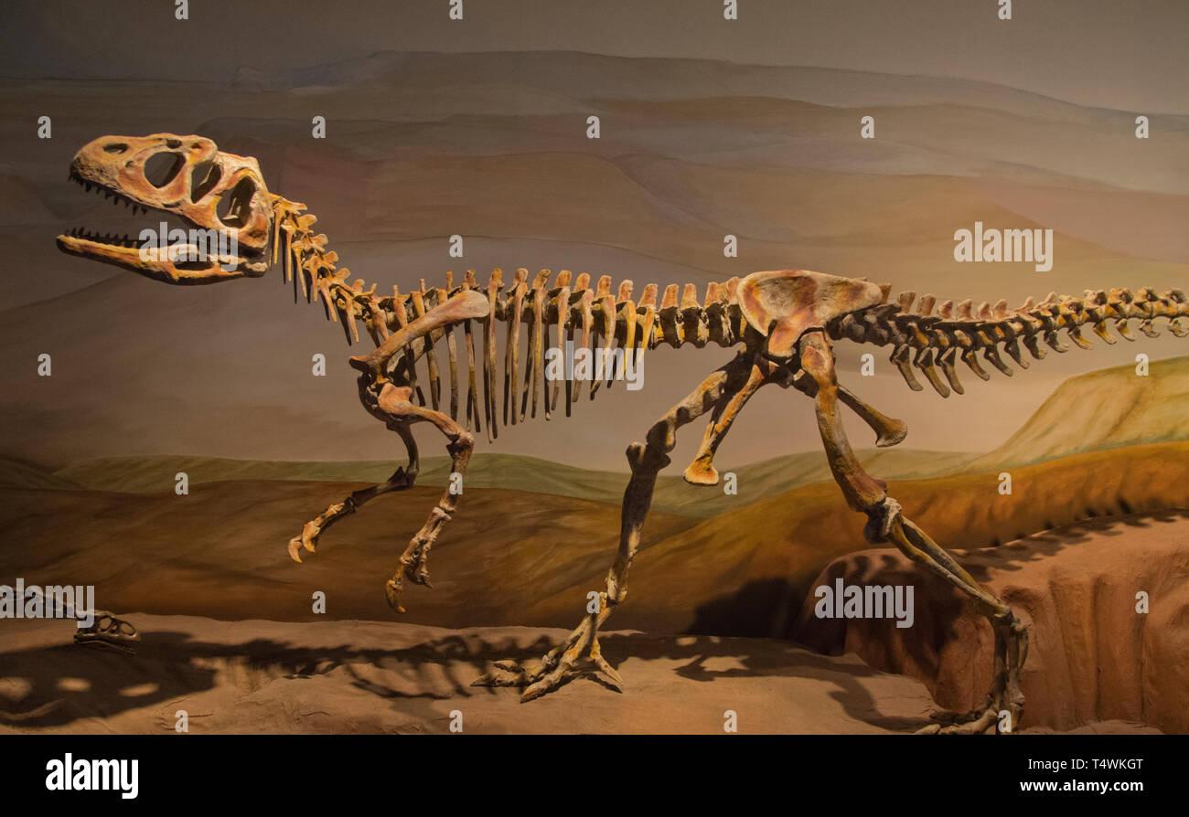 Dinosaur Fossil, Egidio Feruglio Paleontology Museum, Trelew, Argentina - Stock Image