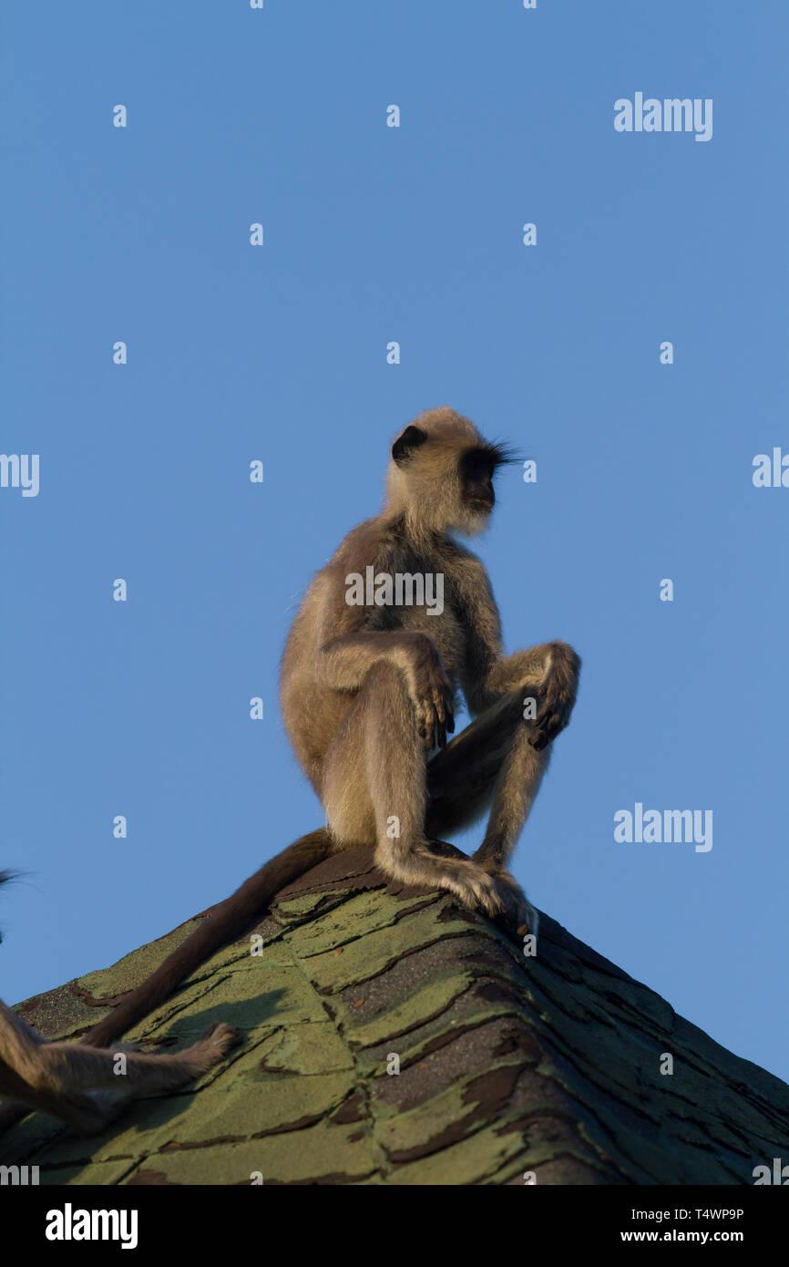 Tufted Grey Langur. Semnopithecus priam. Single adult sitting on roof holiday chalet. Sri Lanka. Stock Photo