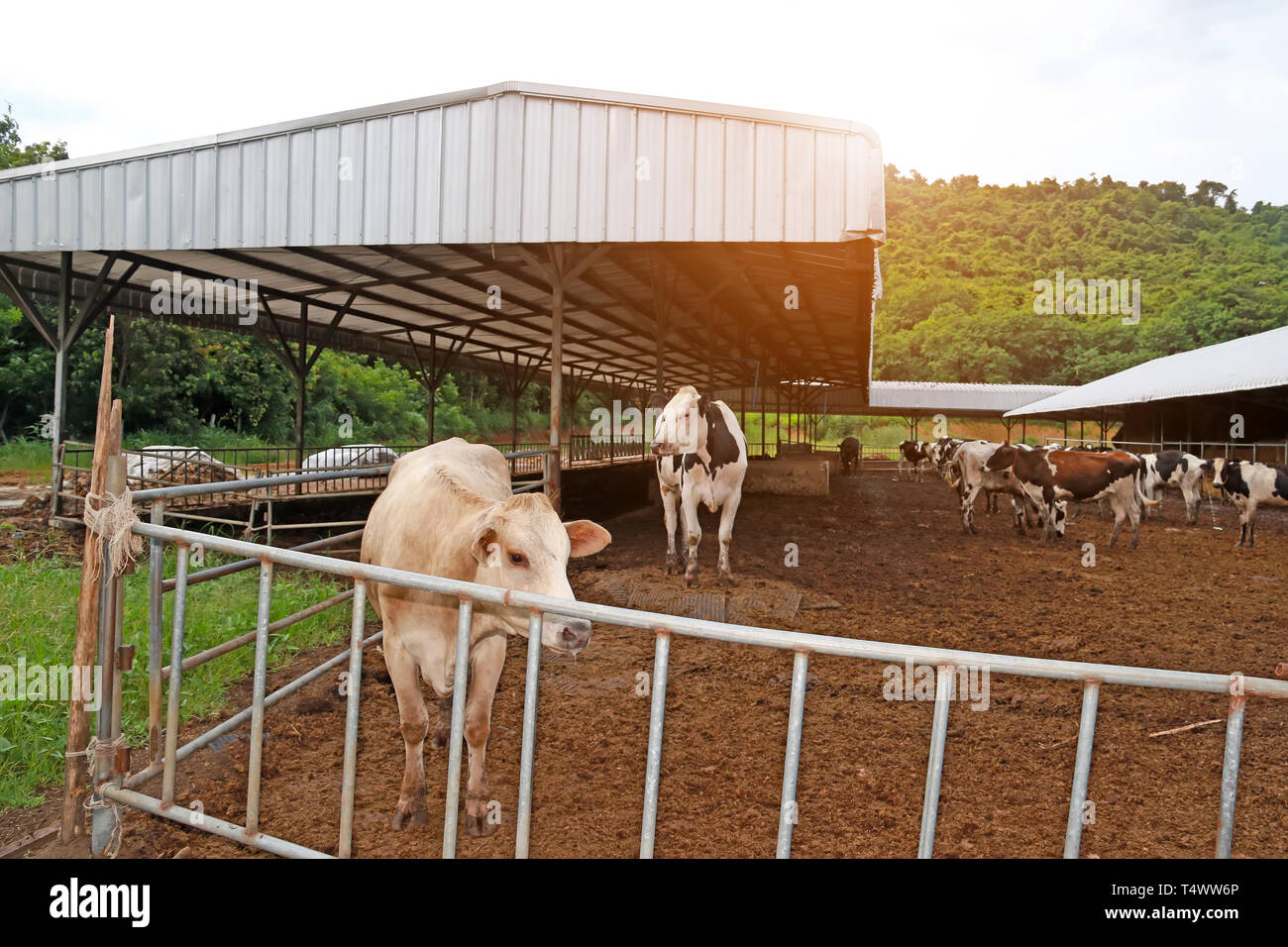 agriculture industry, farming and animal husbandry herd of cows on farm - Stock Image