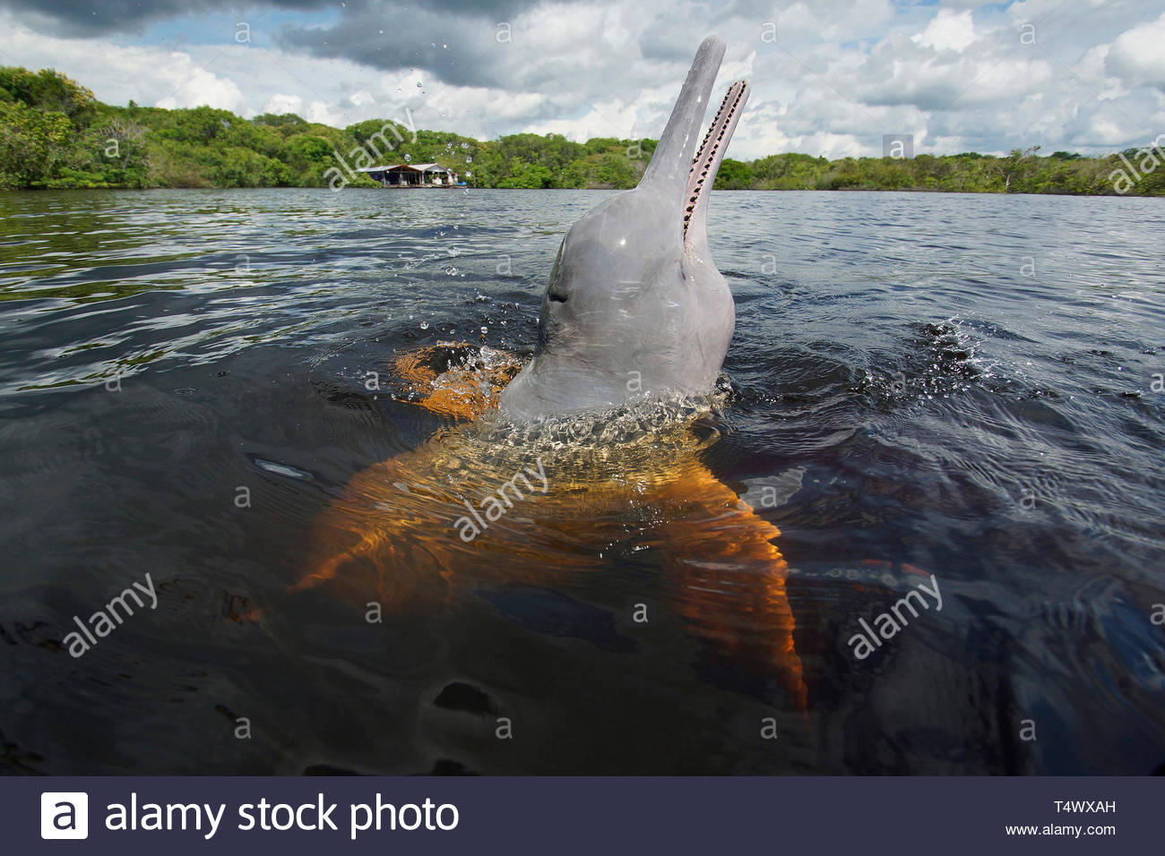 Pink River dolphin, Amazon river dolphin or Boto (Inia geoffrensis) at surface, Acajatuba Lake, Amazon, Brazil - Stock Image