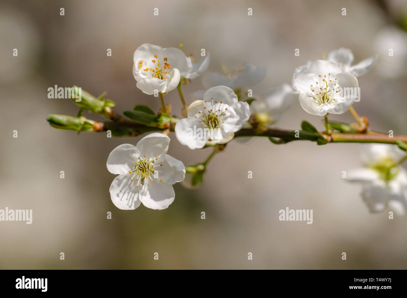 Fruit tree blossom close-up. Shallow depth of field - Stock Image