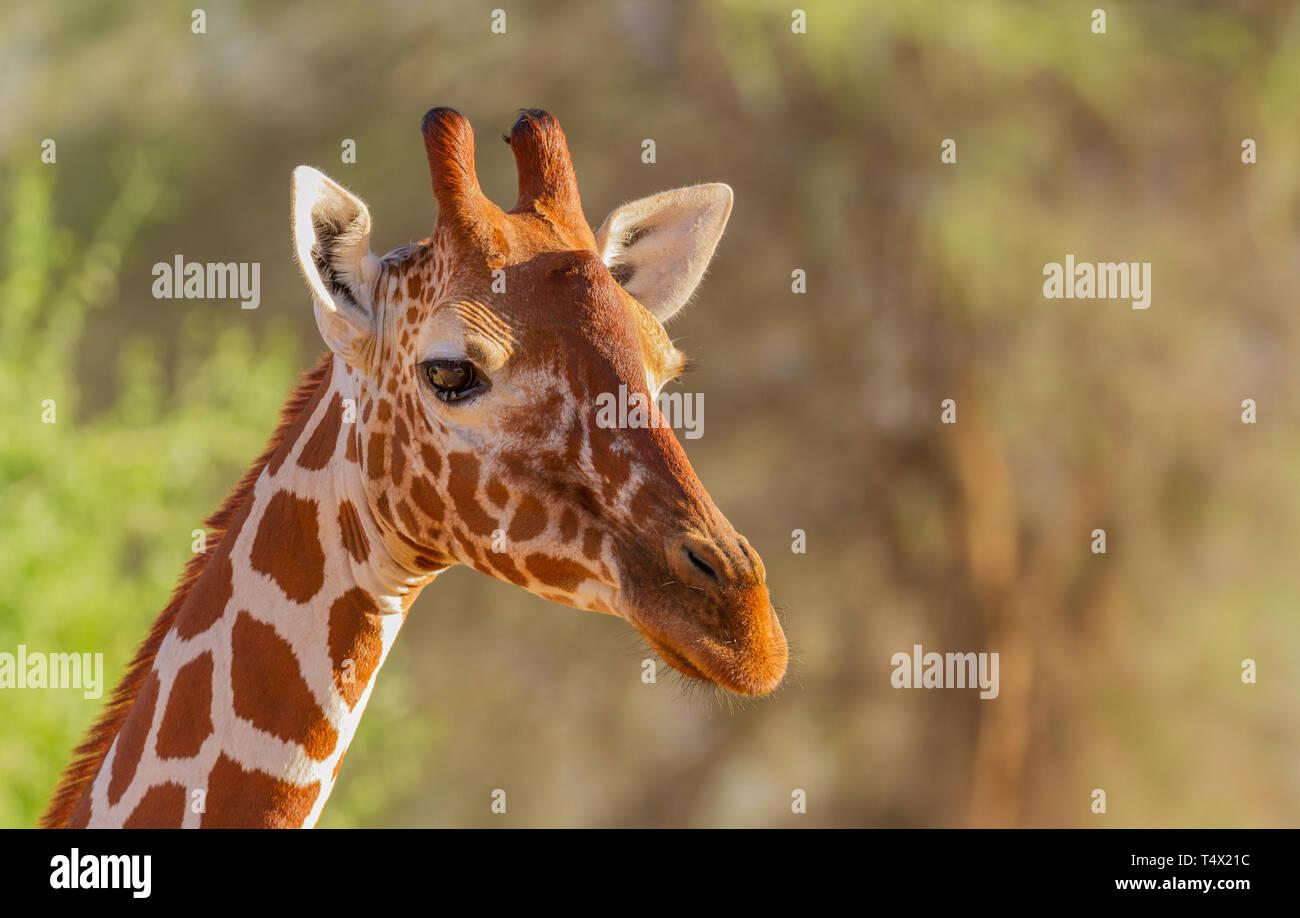Reticulated giraffes Giraffa camelopardalis reticulata Samburu National Reserve Kenya East Africa Stock Photo