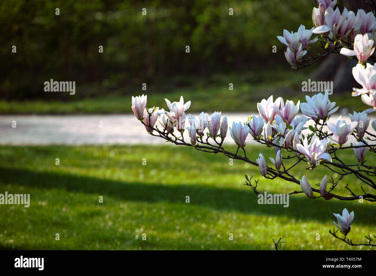 Branch of blooming white, light pink magnolia Flowers on the background of green grass and the park alley. Spring blossom. Flower background. - Stock Image