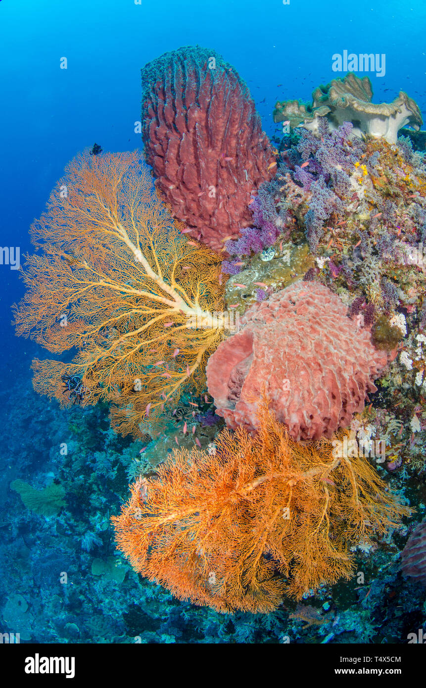Reefscape with soft coral, sea fans and barrel sponge - Stock Image