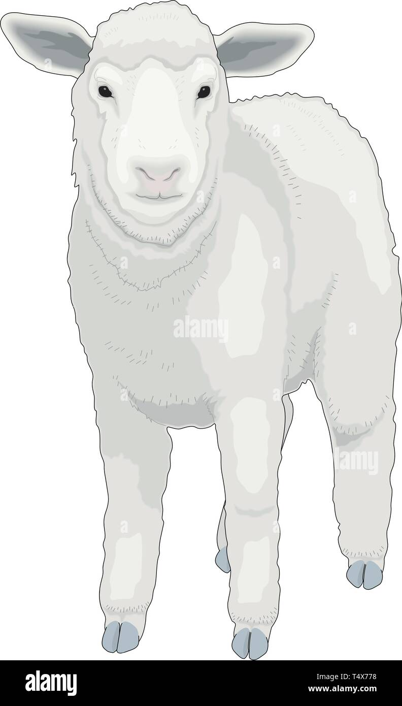 Lamb Standing Vector Illustration - Stock Vector