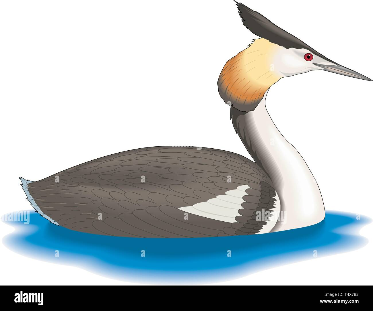 Great Crested Grebe Swimming Vector Illustration - Stock Vector