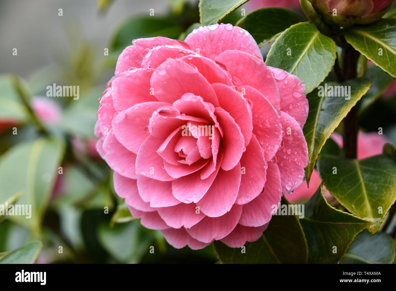 Pink Camellia flower with raindrops on petals, after rain, close-up - Stock Image