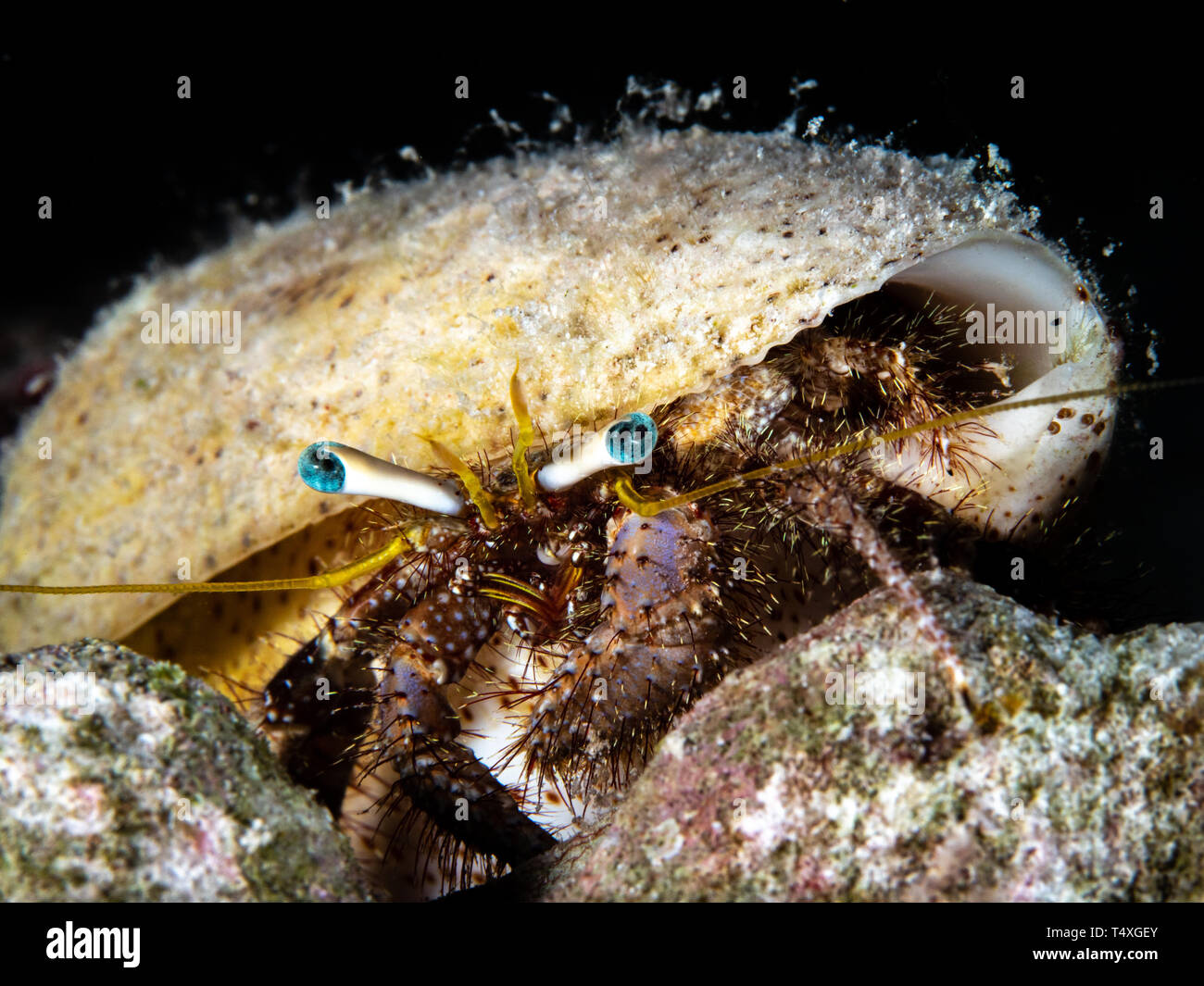 Hairy Hermit Crab, Red Sea, Egypt - Stock Image