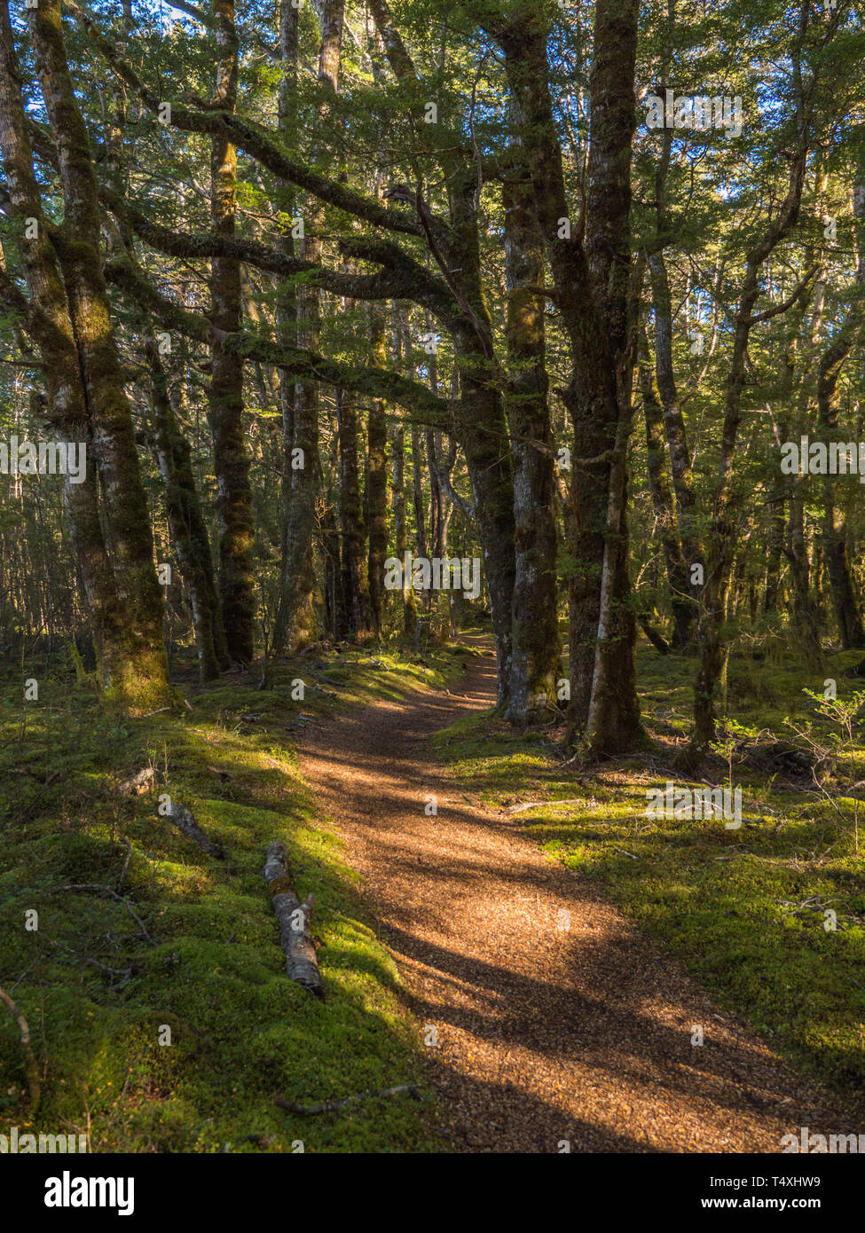 Vertical landscape of Kepler Track winding through beech forest with dappled sunlight streaming through the trees onto the track. - Stock Image