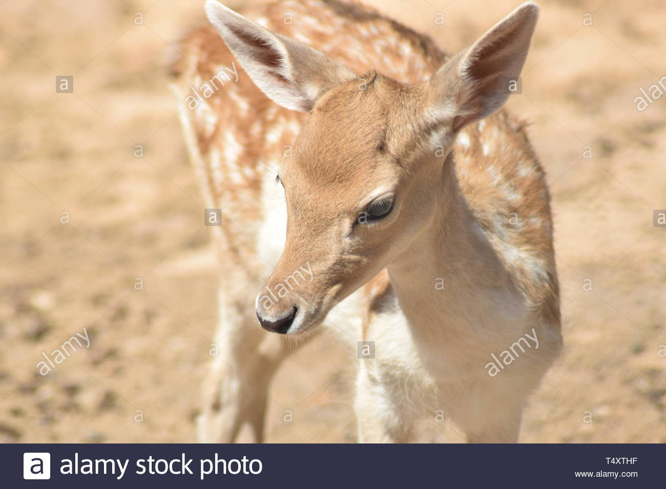 deer turns head to look - Stock Image