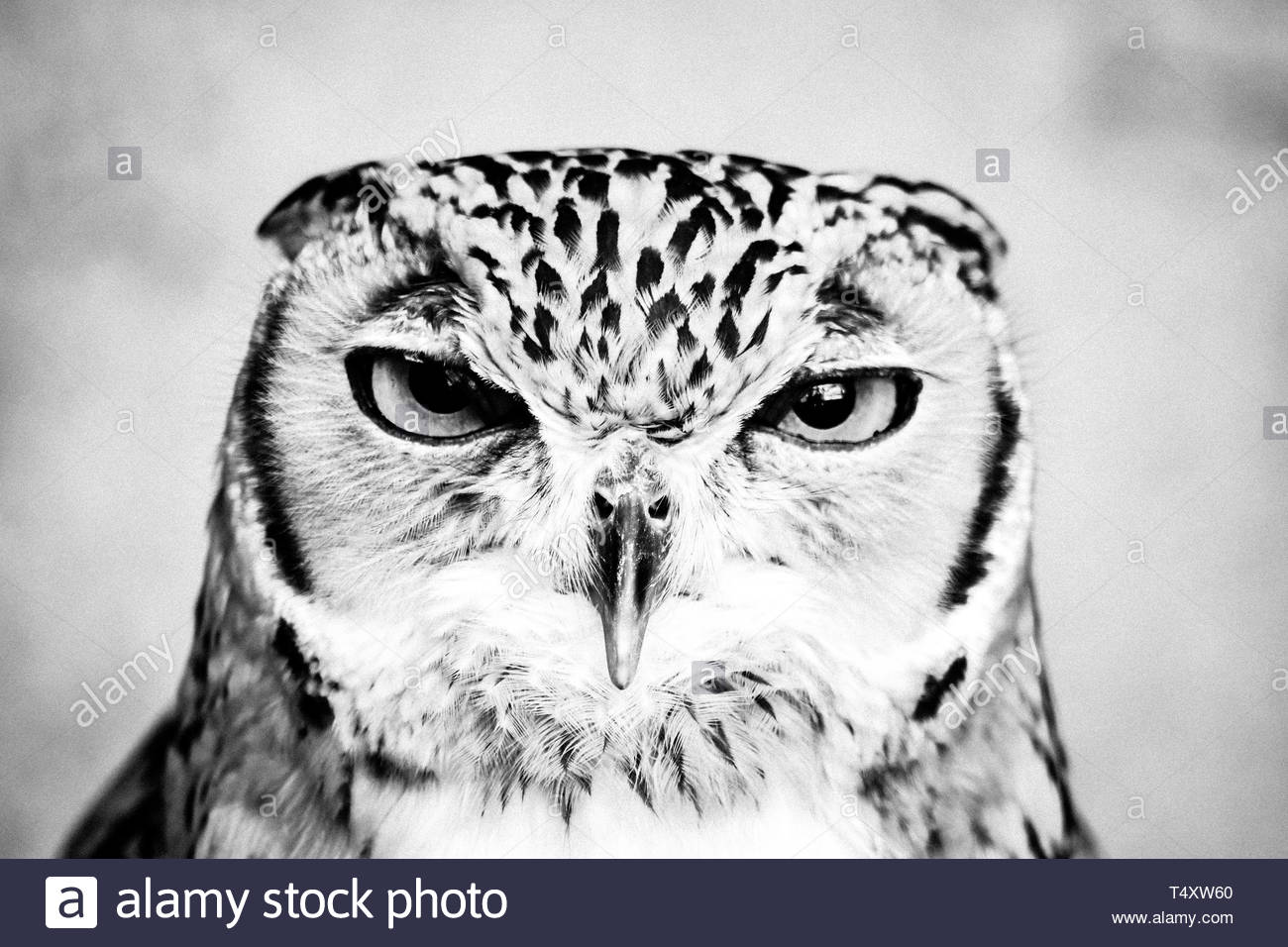 Owl photography black and white stock photos images alamy