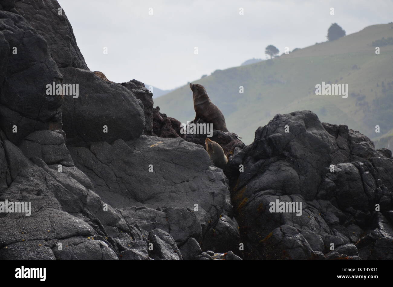 Sea Lions in New Zealand - Dunedin - Stock Image