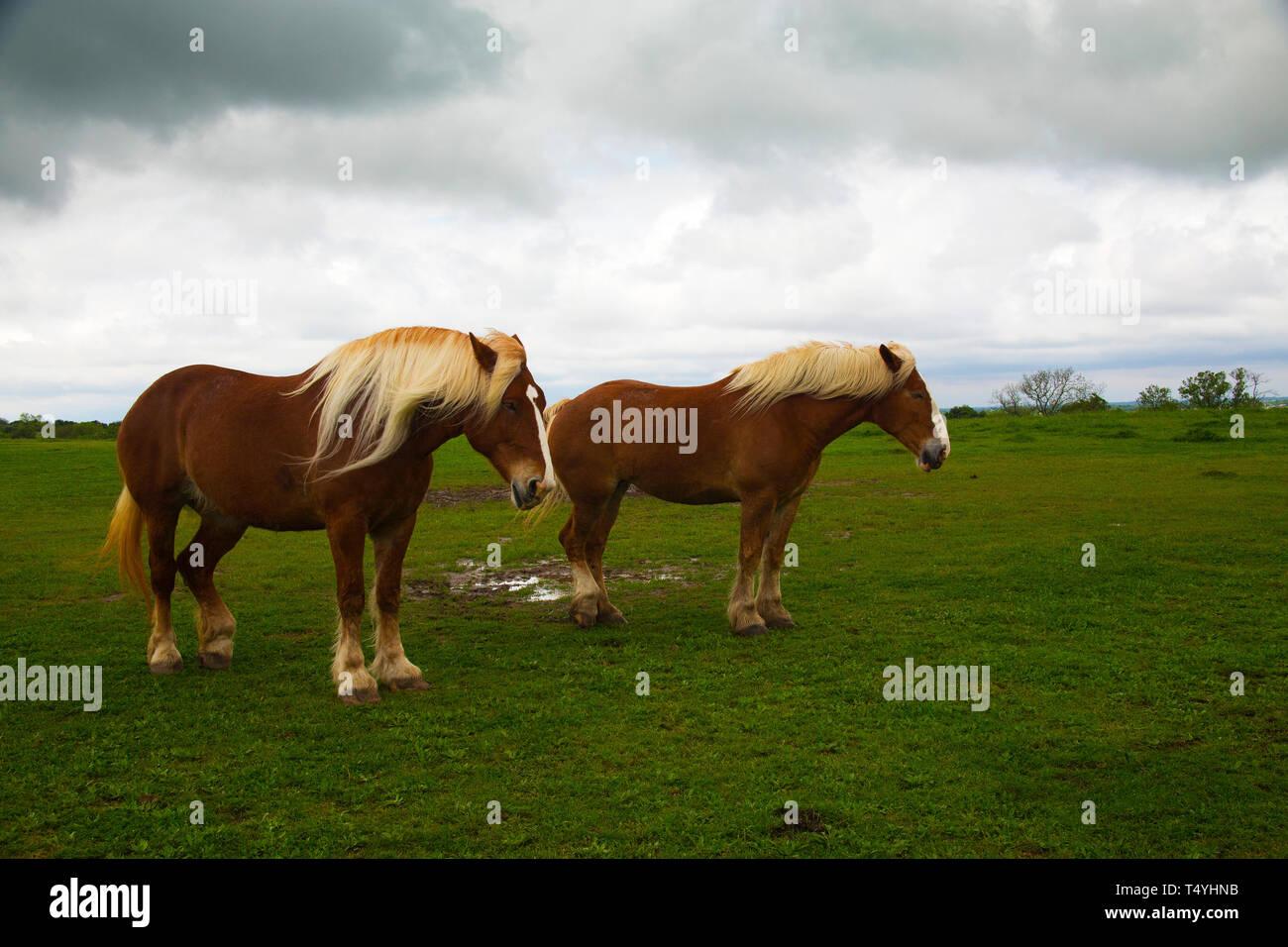 Draft Horses on the Bluebonnet Trail Near Ennis, Texas - Stock Image