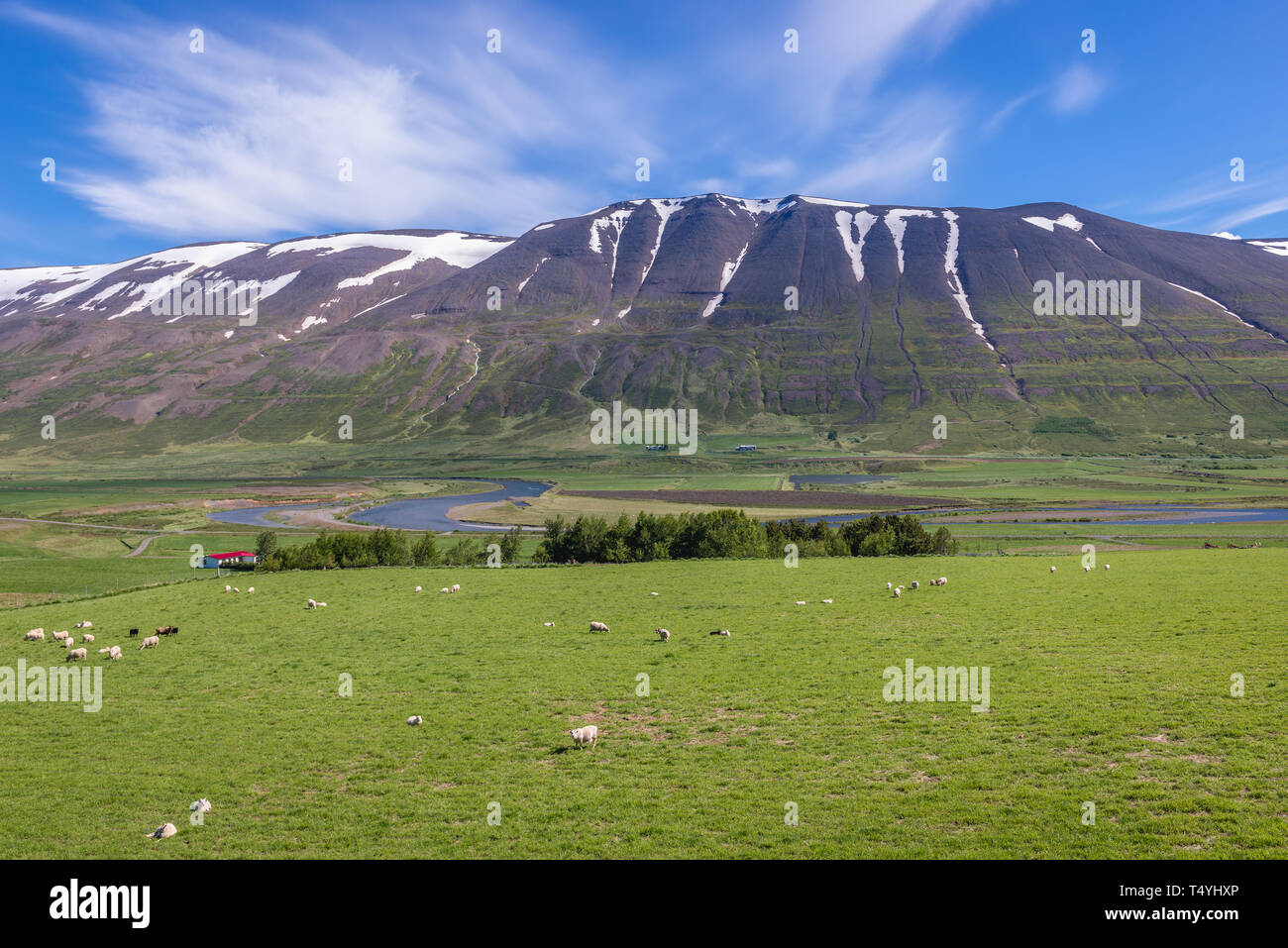 Sheeps on a large graazing land near Vikurskard mountain pass in norther Iceland - Stock Image