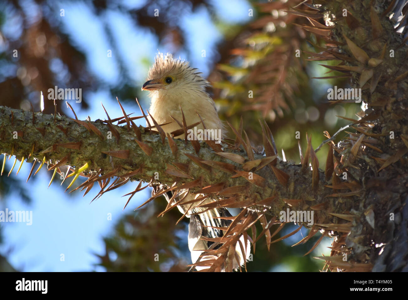 Baby Guira Cuckoo (Guira Guira) sitting on a branch - Stock Image