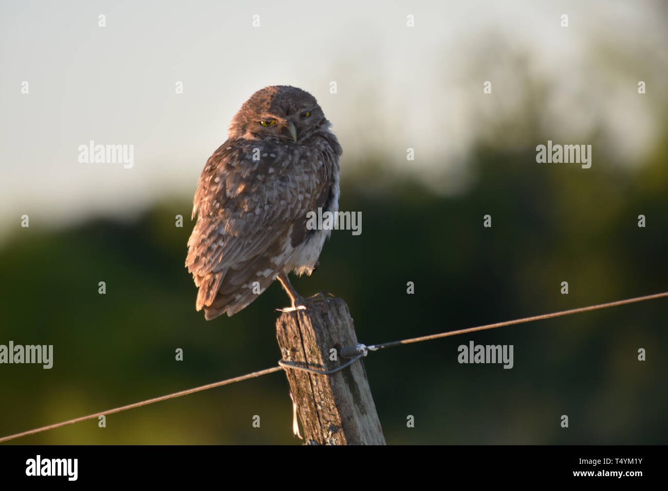 Burrowing Owl (Athene Cunicularia) sitting on a fence post - Stock Image