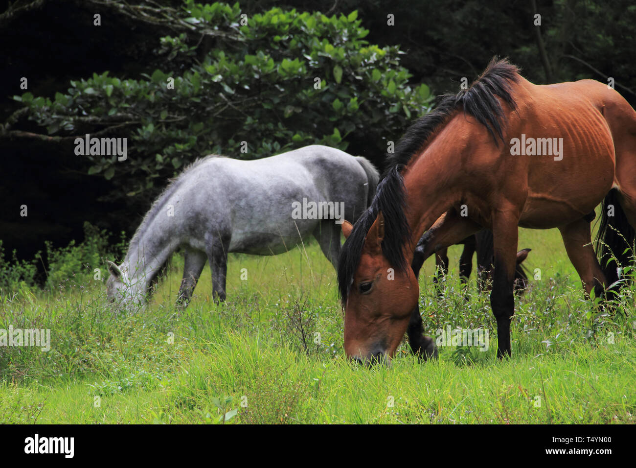 Two horses grazing in the countrysides of Merida. - Stock Image