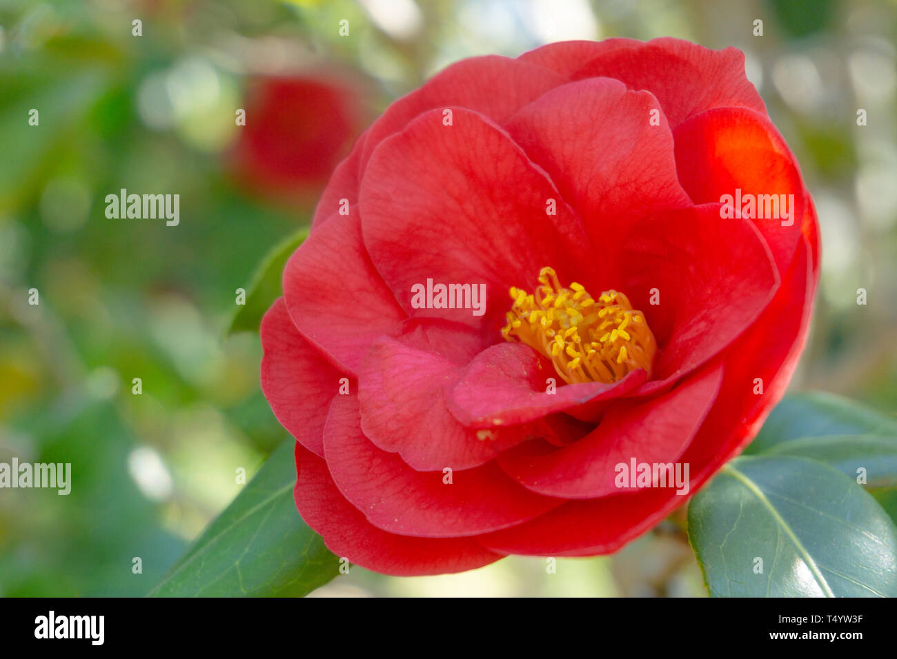 Close-up of a red Royal Velvet (Camellia japonica) Flower in Spring. View of a blossoming red Camellia Flower in April. Red Spring Flowers. Stock Photo