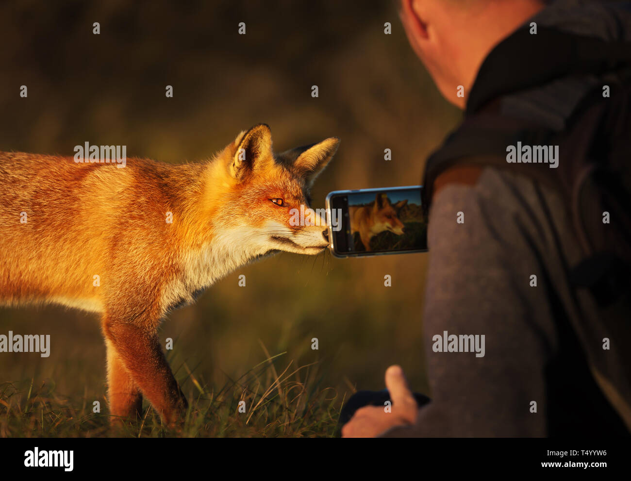 Photographer taking picture of a red fox with a smart phone. - Stock Image