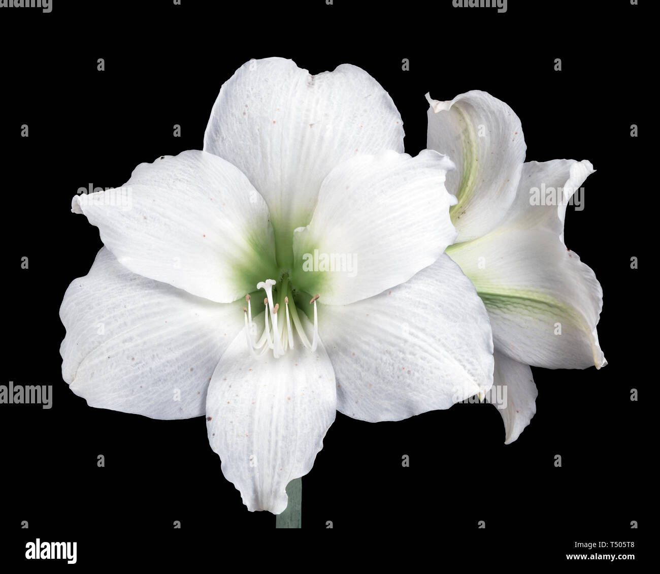 Beautiful Easter Lily Stock Photo
