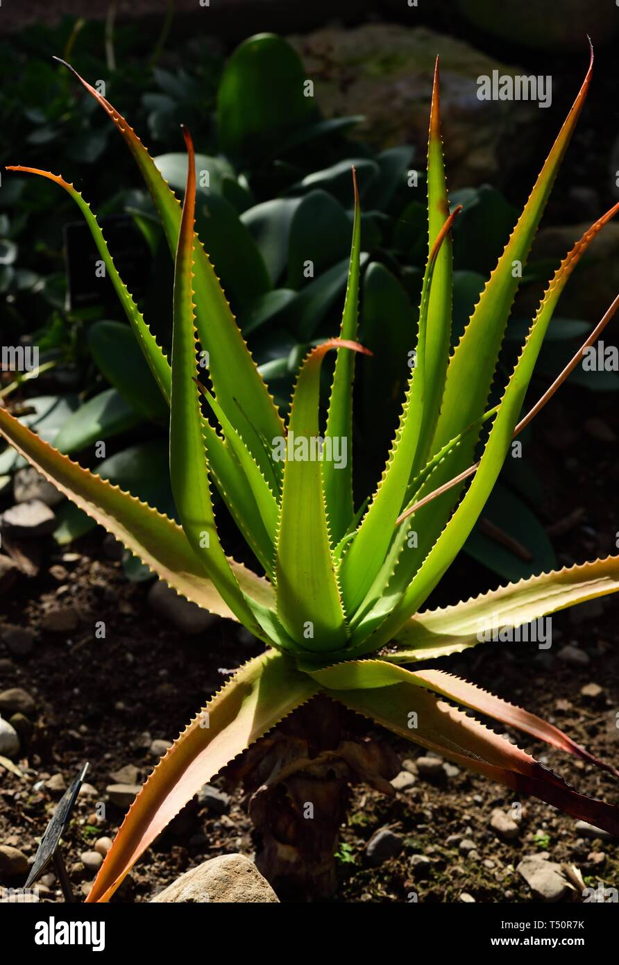 Aloe bulbilifera Stock Photo