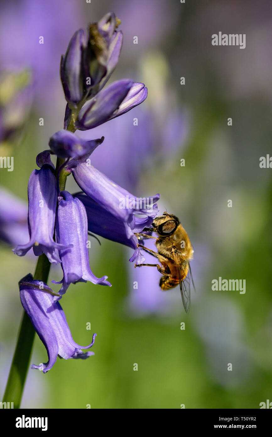 Bee collecting nectar pollen from bluebell wild flower in woodland countryside Stock Photo