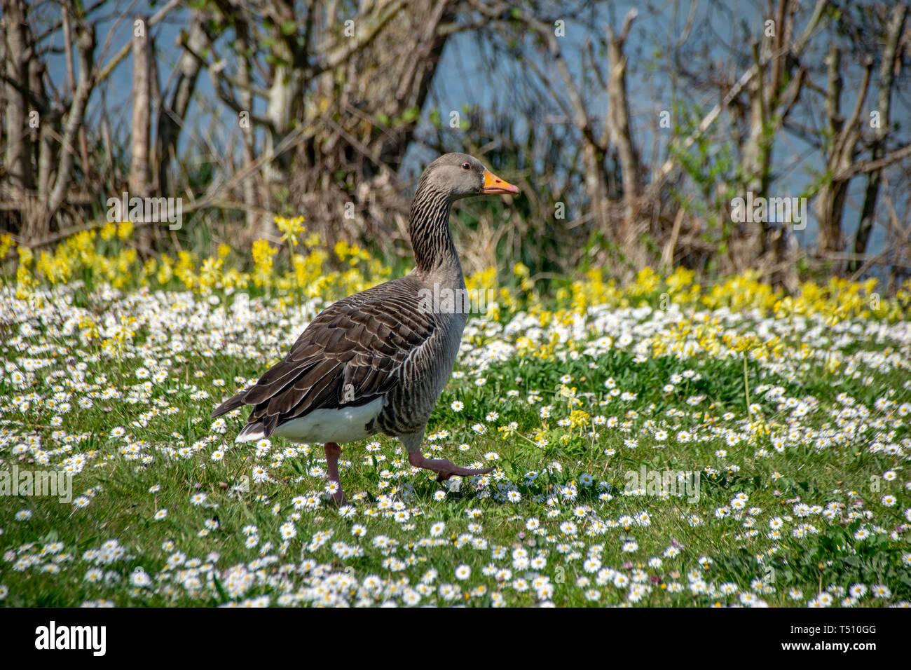 Greylag goose (anser anser) walking amongst spring time daisy wild flowers Stock Photo