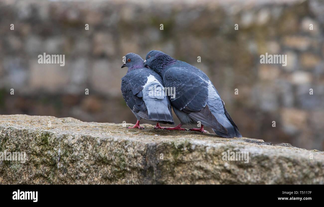 pidgeons mating - Stock Image