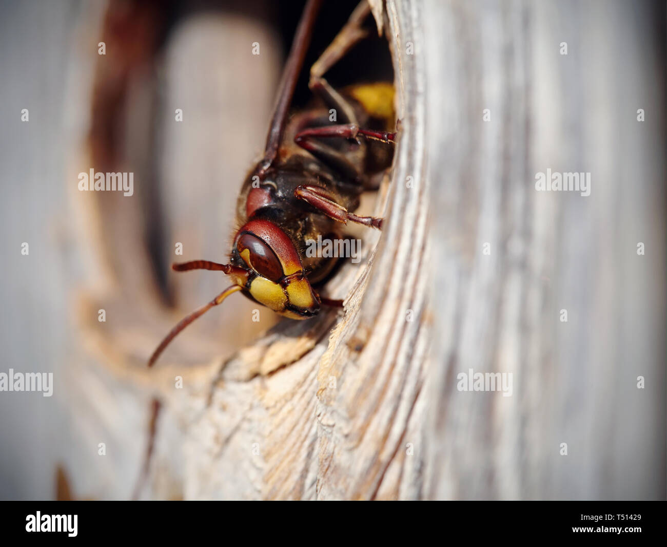 Big wasp - hornet about an entrance to a nest. - Stock Image