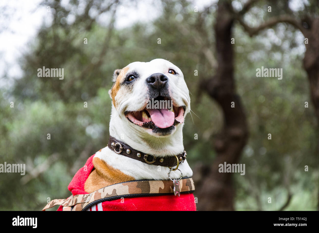 Brown and white pitbull mix, dog lying down and smiling in the park. - Stock Image