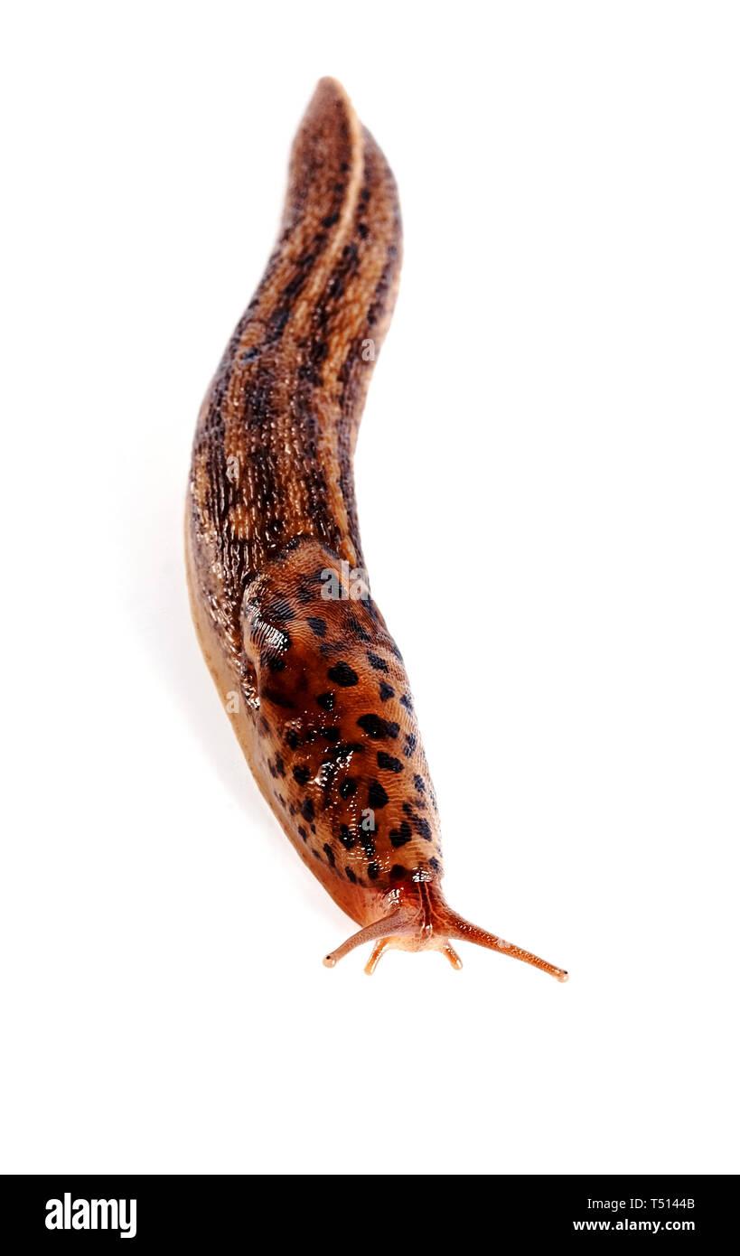 The spotty slug creeps on a white background Stock Photo