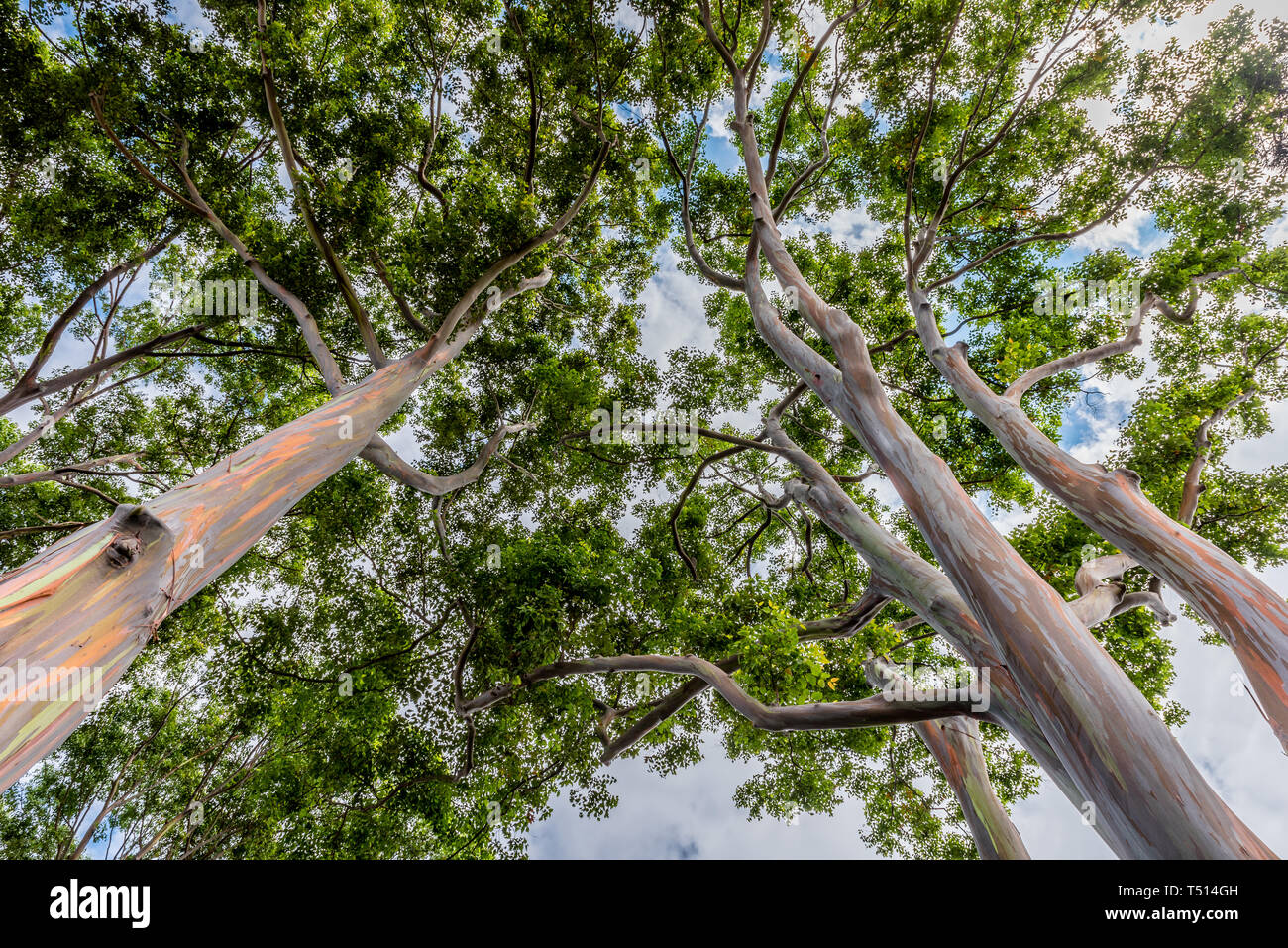 Colorful and Tall Rainbow Eucalyptus Trees on Oahu, Hawaii - Stock Image