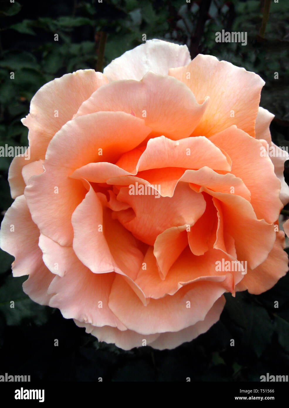 This close-up shows the petals of a beautiful pink rose blossom folding back from the center of this popular ornamental garden flower. The rose is a type of flowering shrub and gets its name from the Latin word Rosa. Roses belong to the family of plants called Rosaceae and are considered the most popular flowers in the world. With more than 150 species of roses and thousands of hybrids, roses can be found in nearly every color and dozens of different shapes. - Stock Image