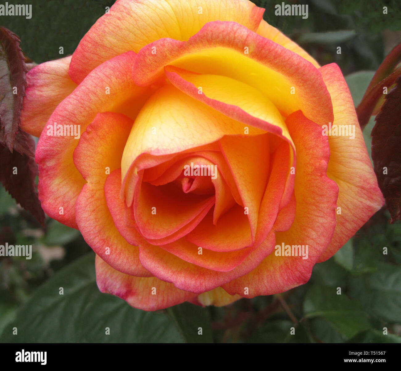 This close-up shows the petals of a beautiful yellow and  pink rose blossom folding back from the center of this popular ornamental garden flower. The rose is a type of flowering shrub and gets its name from the Latin word Rosa. Roses belong to the family of plants called Rosaceae and are considered the most popular flowers in the world. With more than 150 species of roses and thousands of hybrids, roses can be found in nearly every color and dozens of different shapes. - Stock Image