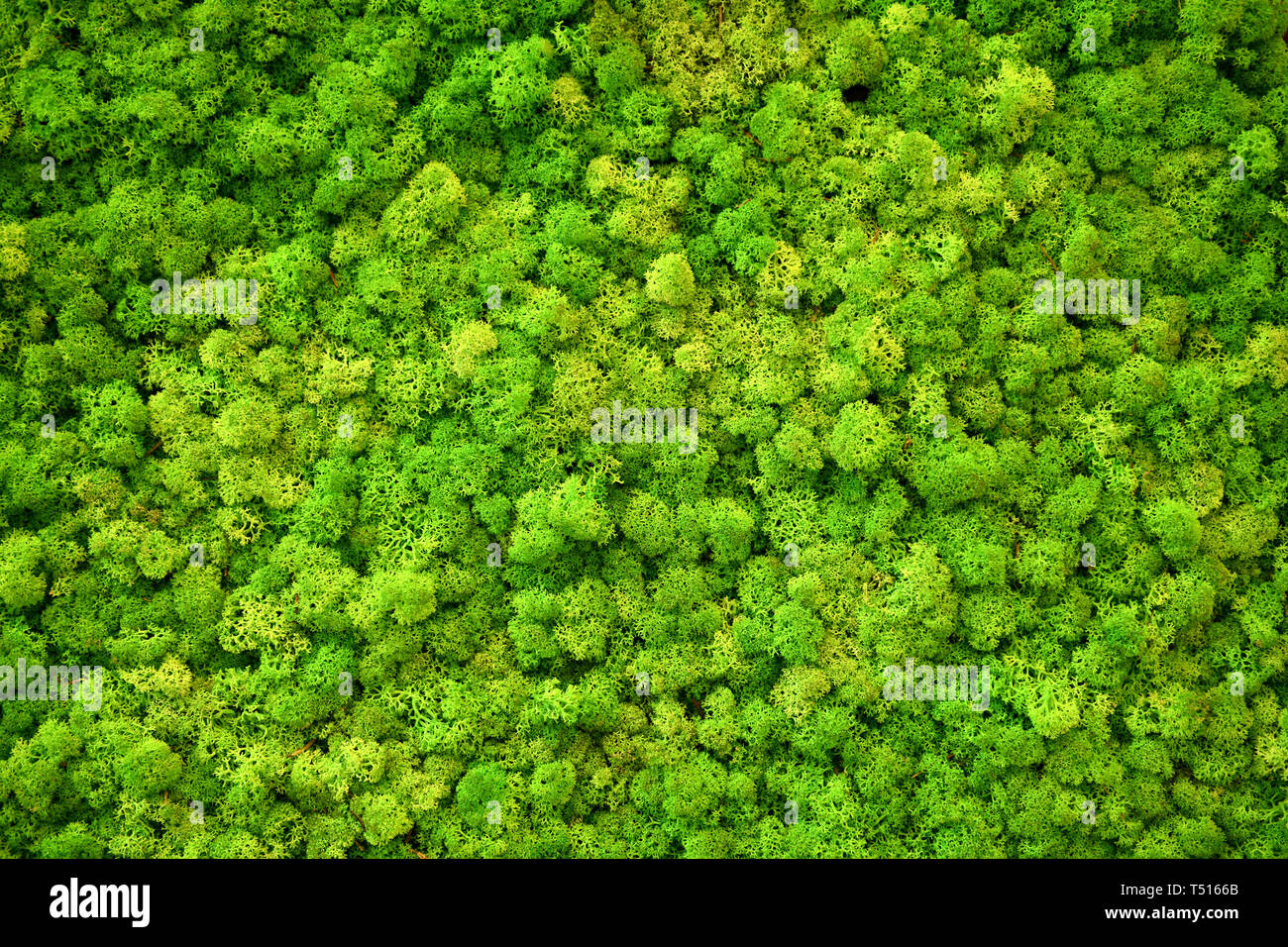 Full frame of light green Finland moss in close-up. Vivid natural color background concept - Stock Image