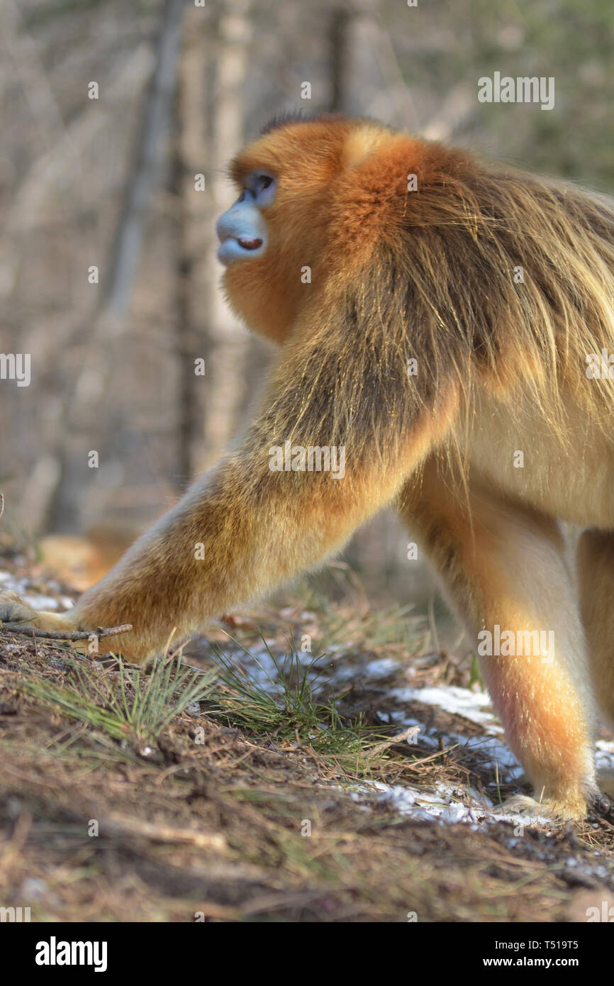 Male Golden Snub-nosed Monkeys (Rhinopithecus roxellana) patrolling his territory in the Chinese Mountains - Stock Image