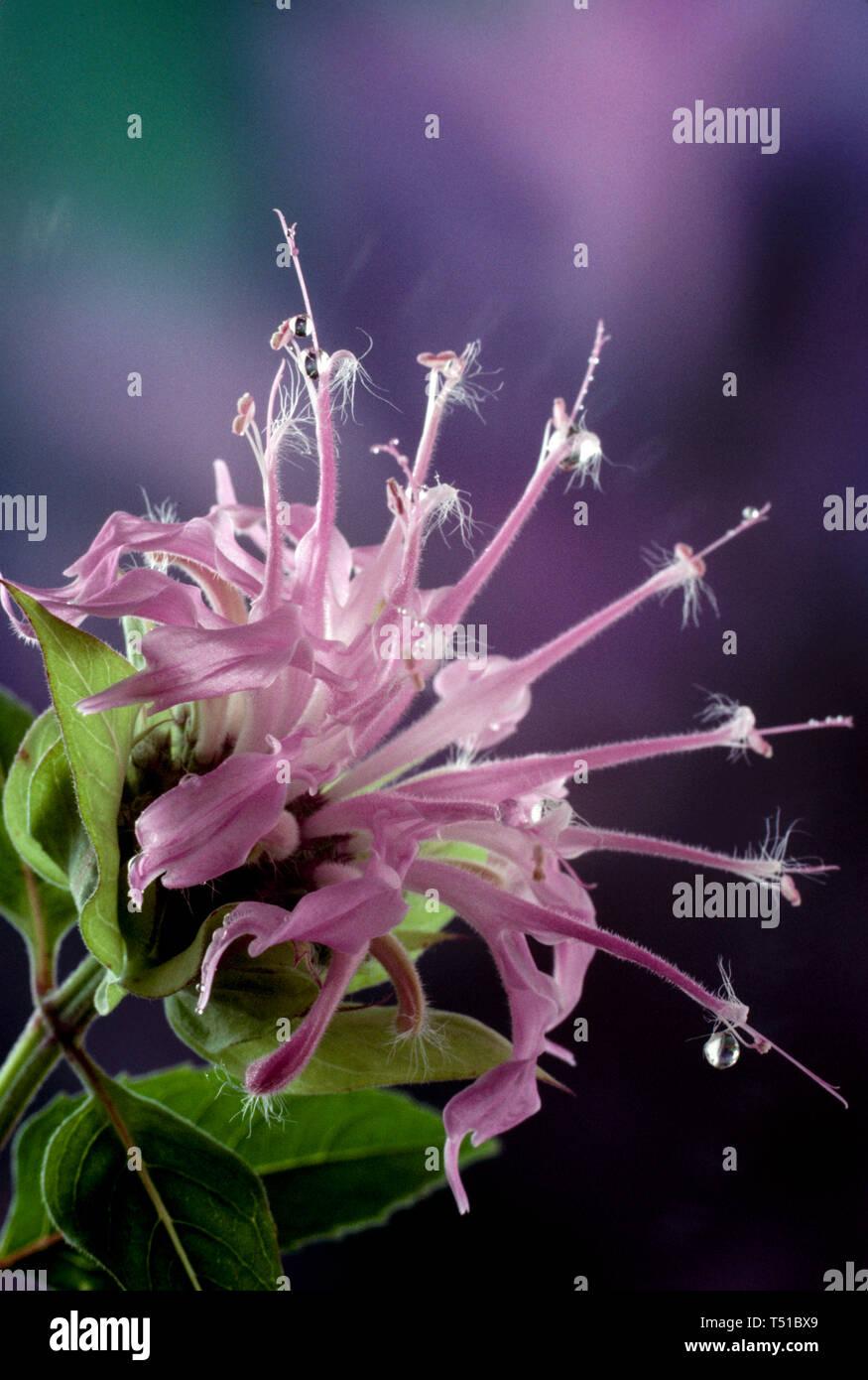 Monarda fistulosa, delicate pink monarda flower or bee balm, flower close up with dew drops on petals, USA - Stock Image