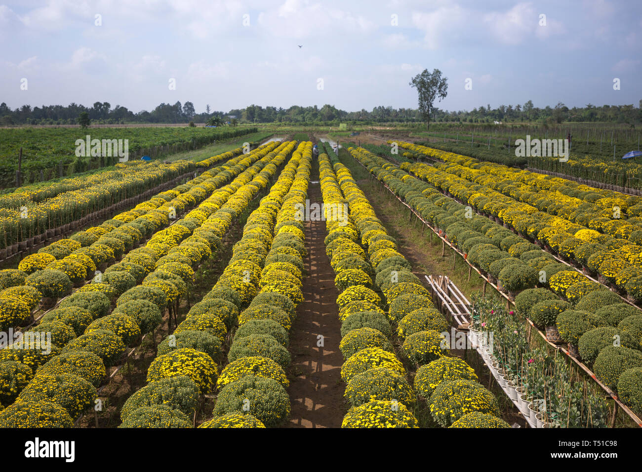Sa Dec flowers village, Dong Thap province, Vietnam - January 13, 2017: drones and yellow daisy field at Sa Dec flower village. ready for harvest for - Stock Image