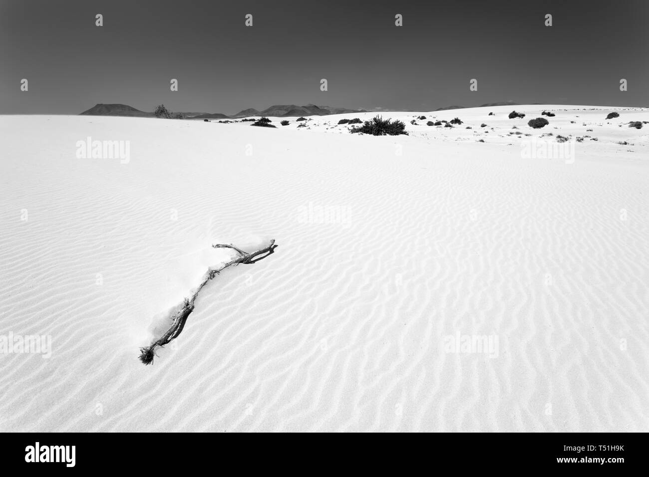 A twig in the sand dunes of Corralejo, Fuerteventura. - Stock Image