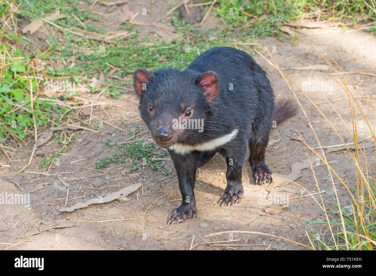 The Tasmanian Devil (Sarcophilus harrisii) is a carnivorous marsupial of the family Dasyuridae. Stock Photo