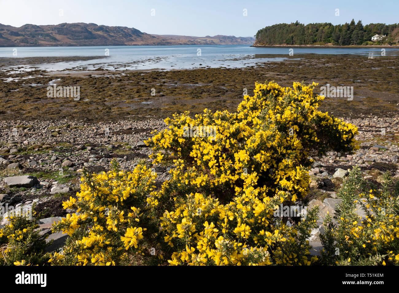 Gorse bushes by Loch Ewe at Poolewe, west coast of Scotland. Stock Photo