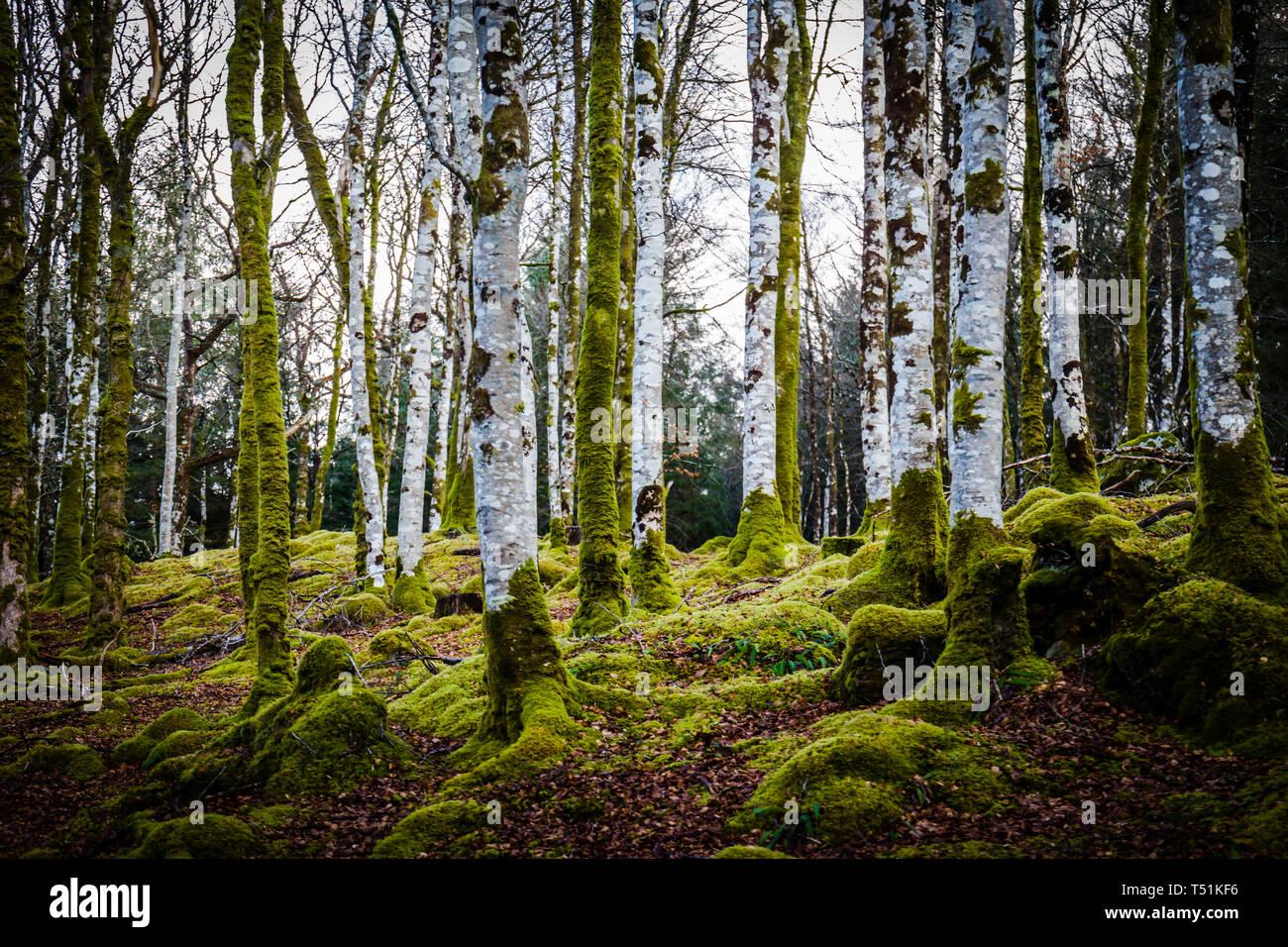 Birch woodland in Spring, Barcaldine, Oban, Scotland. - Stock Image