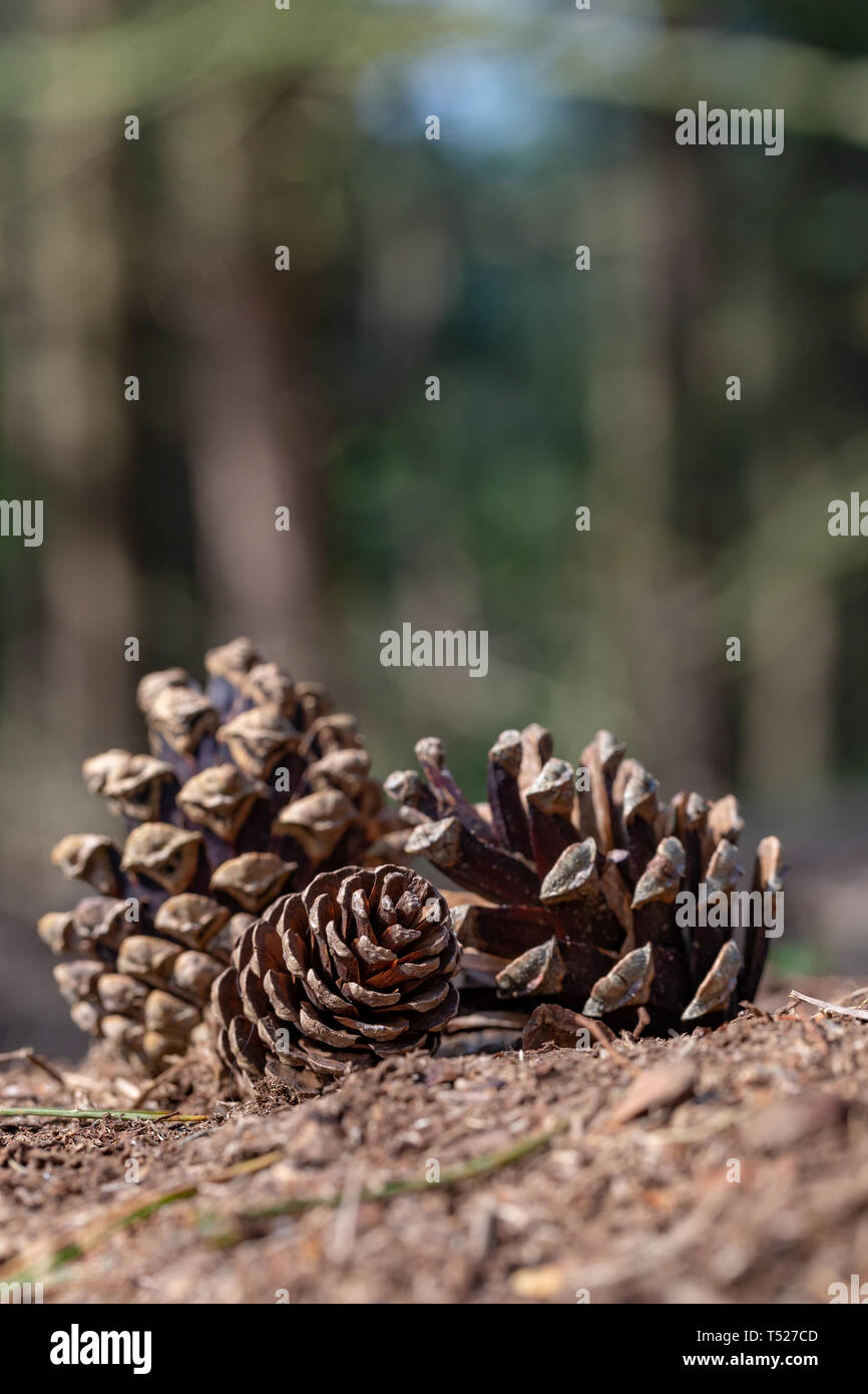 Three pinecones lying on the ground in Daresbury Firs, Warrington, Cheshire, England - Stock Image