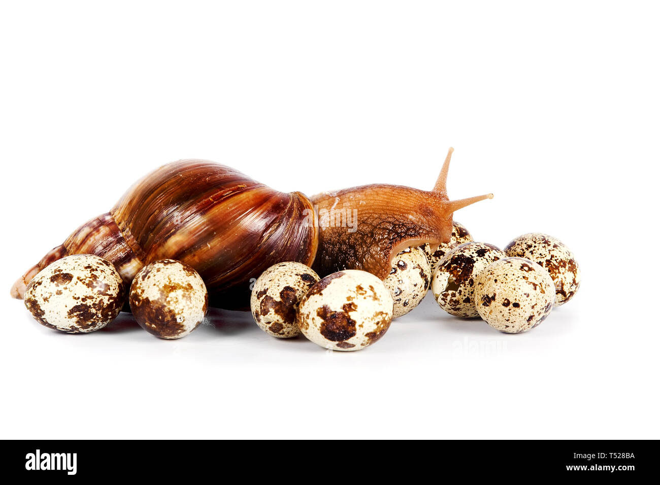 The snail creeps on quail eggs on a white background - Stock Image