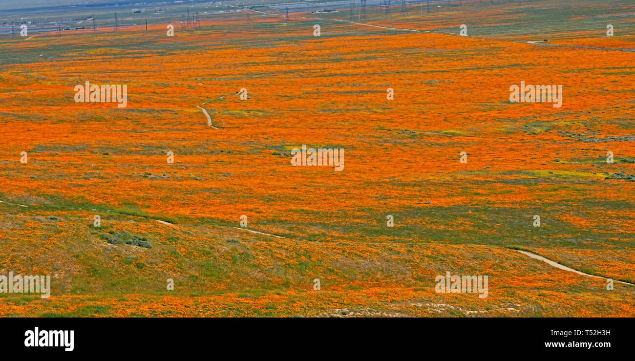 Orange Poppies.  Eschscholzia californica.  Yellow goldenfields.  Lasthenia californica.Super Bloom, Antelope Valley Poppy Reserve, California, USA. - Stock Image